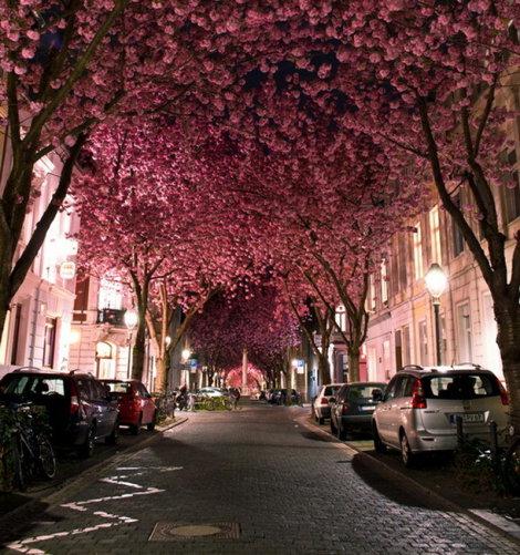 Cireşilor  Înfloriţi din Bonn, Germania