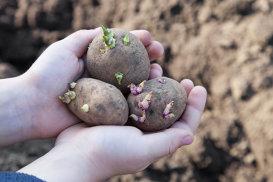 Cartofii încolţiţi pot fi consumaţi fără grijă