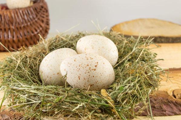 ouă atârnă când sunt erecte)