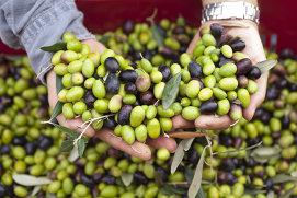 10 lucruri pe care probabil nu le ştiai despre măsline