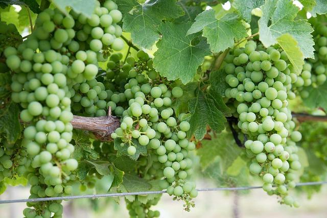 Ce trebuie să ştiţi despre vinul Chardonnay