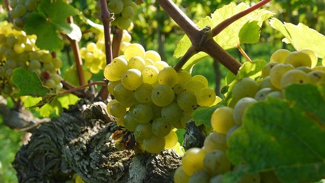 Riesling, vinul nobilimii germane - ce trebuie să ştiţi despre el