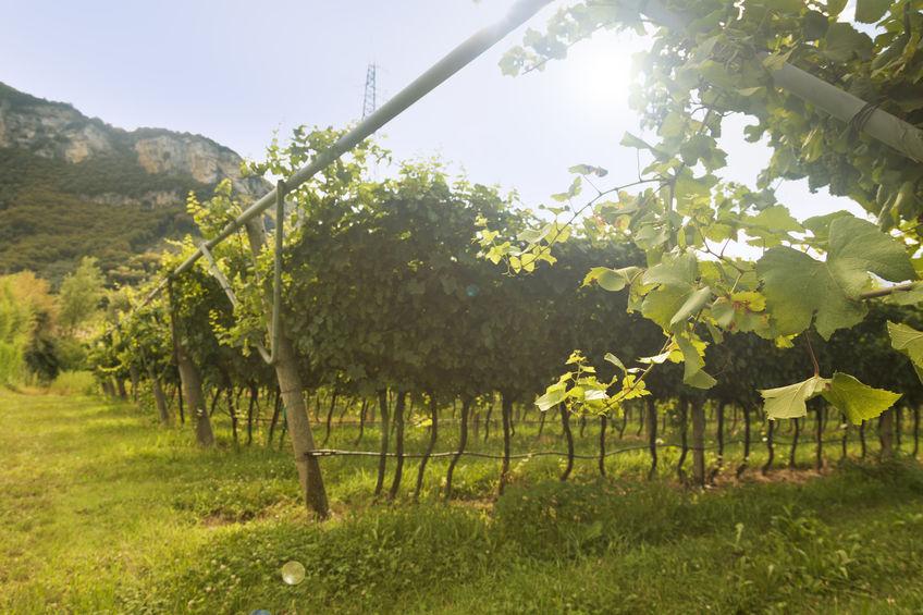 Ghidul vinului Moscato
