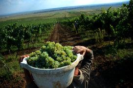 Povestea vinului de Teaca, cândva recunoscut în toată lumea. Saşii vor să reînvie o tradiţie de sute de ani