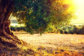 Povestea măslinilor milenari din Montasia. Noul ulei care cucereşte gusturile