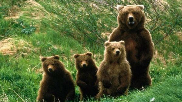 O ursoaică cu trei pui a apărut în zona Carrefour din Braşov