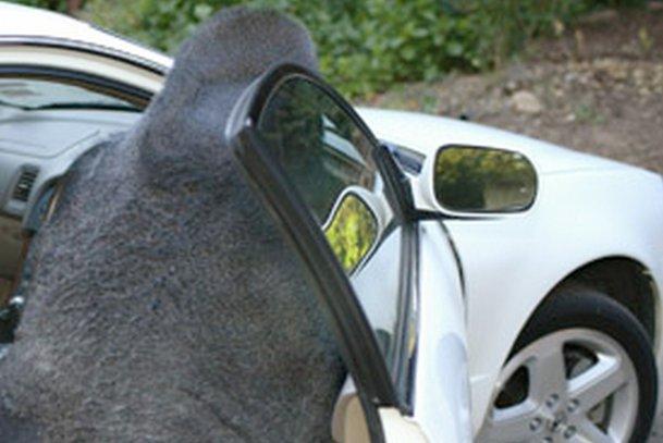 Cele mai ciudate reguli de circulaţie din lume. În SUA poţi transporta gorile, dar numai pe scaunul din dreapta