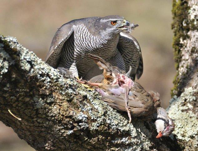 Uliu porumbar în penaj adult se hrăneşte cu o potârniche de stâncă