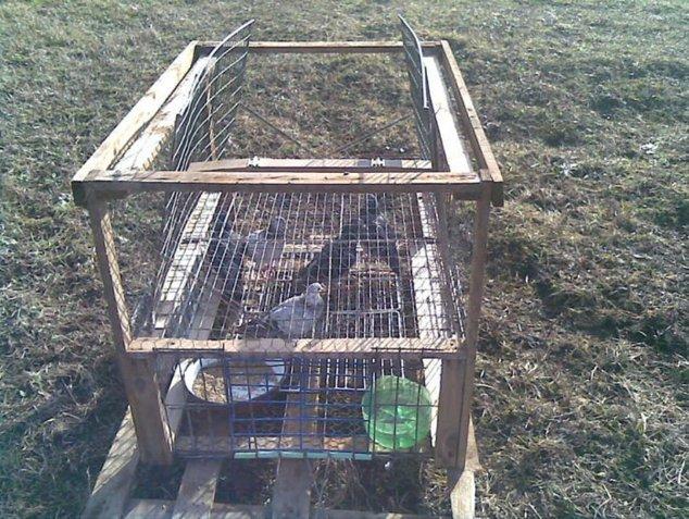 Capcană ilegală pentru ulii folosită de columbofilii din România