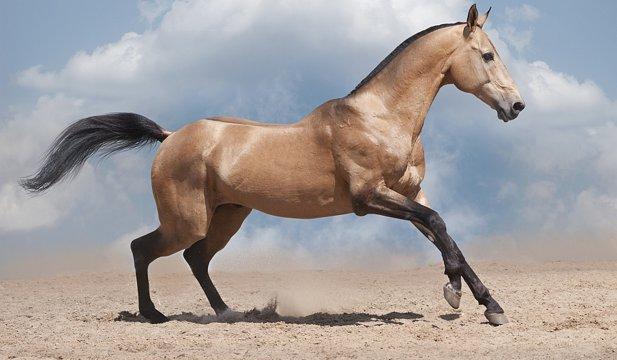 Akhal Teke: probabil cel mai frumos cal din lume
