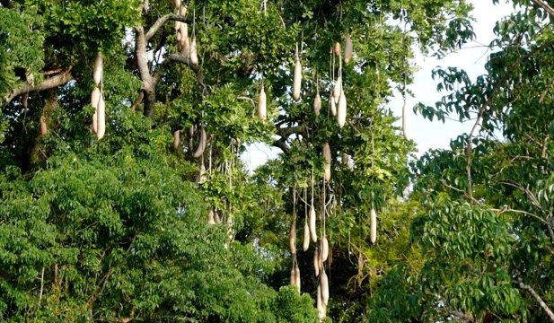 Arborele cu cârnaţi, copacul cu batiste şi alţi arbori spectaculoşi