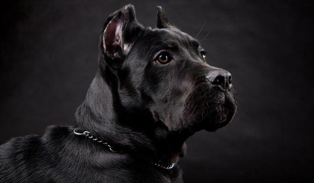 Cele mai bune rase de câini de pază