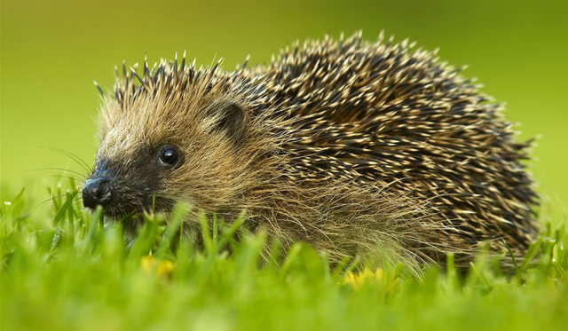Hedgehog - Counsellor of God