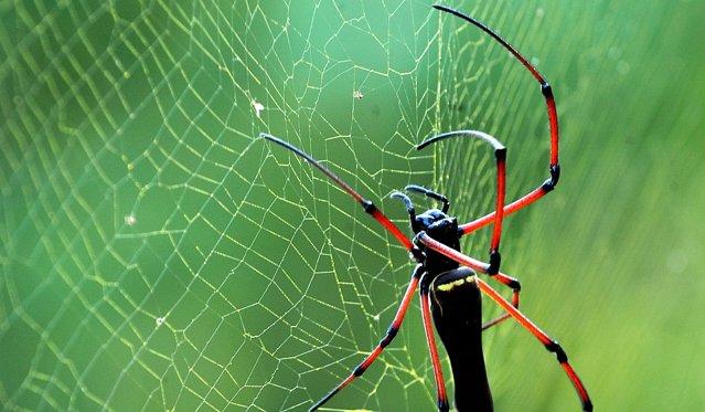 Viermii de mãtase au fost modificaþi genetic pentru a produce mãtase de pãianjen