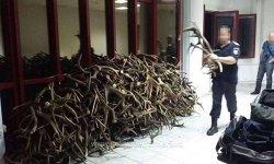 De ce acest bărbat a încercat să scoată din ţară 680 de coarne de cerb