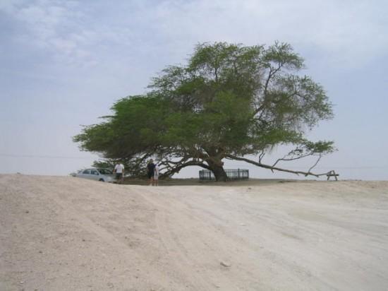 Arborele Vieţii. Copacul care supravieţuieşte de 400 de ani singur, în mijlocul deşertului