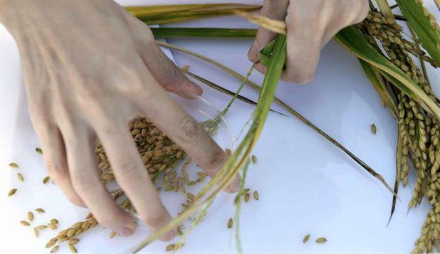 cercetatorii-chinezi-au-creat-un-nou-tip-de-orez-cu-care-ar-putea-fi-hranite-peste-200-de-milioane-de-persoane