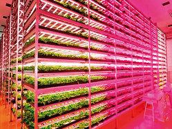 Idei de afaceri: salata crescută la lumină de leduri (GALERIE FOTO, VIDEO)
