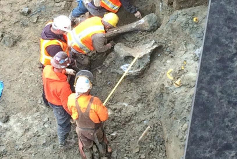 Oseminte de mamut, găsite sub un stadion din Statele Unite ale Americii