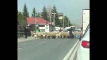 VIDEO FABULOS | Gigi Becali şi-a scos oile la plimbare şi a blocat traficul în Pipera!