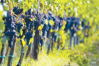Sectorul viticol, cel mai activ- noua companii au atras 15 milioane de euro din fonduri UE