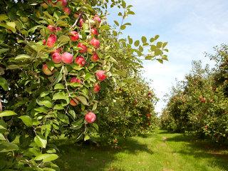 An record pentru producţia de mere: producătorii au profitat şi au exportat de şapte ori mai mult