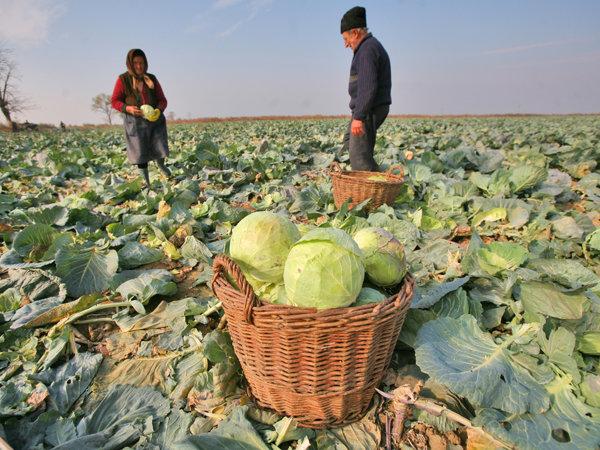 Ţăranii din Lunguleţu pun varză şi cartofi cum pun alţii grâu - pe hectare întregi