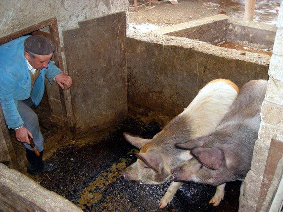 Imaginea articolului Numărul focarelor de pestă porcină africană a crescut la 1.223, în 346 de localităţi din 26 judeţe