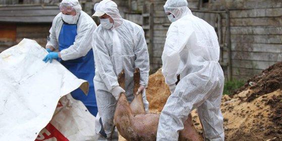 Imaginea articolului Pesta porcină DÂMBOVIŢA. Un fost asistent medical veterinar, care ar fi încercat să salveze porci bolnavi, este cercetat penal