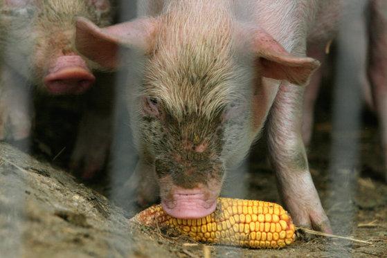 Imaginea articolului ALERTĂ în Buzău, după depistarea unui nou focar de pestă porcină africană