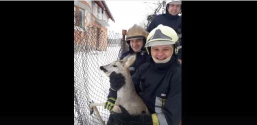 Imagini emoţionante cu două căprioare rătăcite, salvate de pompieri din Bistriţa şi Suceava | FOTO, VIDEO