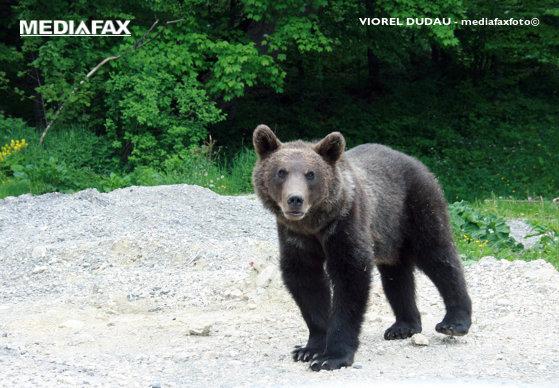 Imaginea articolului Imagini inedite: Un lup a vizitat un grup de urşi, într-o pădure din Braşov | VIDEO