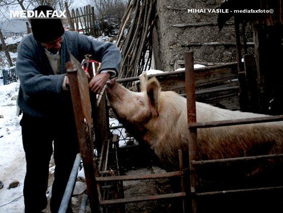 Imaginea articolului România trebuie să renunţe la un obicei tradiţional de creştere a porcilor pentru eradicarea trichinelozei