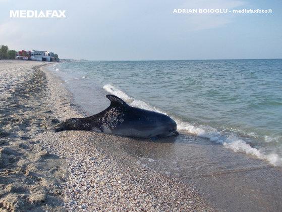 Imaginea articolului Cinci delfini eşuaţi în şase zile, pe litoralul românesc. Numărul incidentelor este mai mic cu 50% faţă de anul trecut