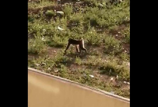 Operaţiune de amploare în Capitală. O maimuţă, găsită în curtea unei case din Sectorul 5/ Autorităţile nu au reuşit capturarea animalului | VIDEO