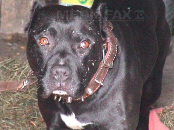 Imaginea articolului Incident GRAV: Tânără rănită după ce a fost atacată de un pitbull, în timp ce încerca să-şi apere câinele
