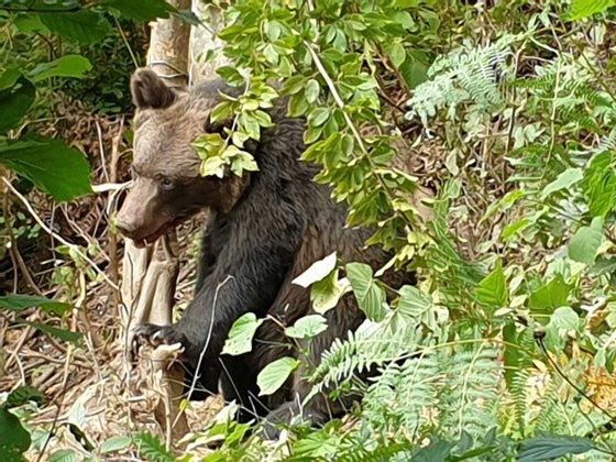 Imaginea articolului Pui de urs prins într-un laţ. Intervenţie dificilă pentru jandarmi din cauza unei ursoaice agresive