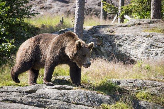 Imaginea articolului Un urs a fost lovit de o maşină în care se aflau trei persoane. Pasagerii sunt bine, dar starea animalului e incertă