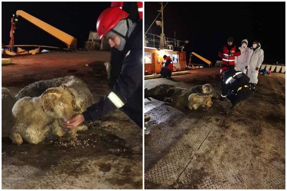 Imaginea articolului Operaţiunea de salvare a oilor din nava răsturnată în Portul Midia s-a încheiat. Câte cadavre de animale zac pe Marea Neagră
