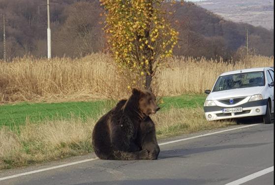 Imaginea articolului Un alt urs a fost lovit mortal de o maşină, în Mureş. Cum a fost găsit animalul