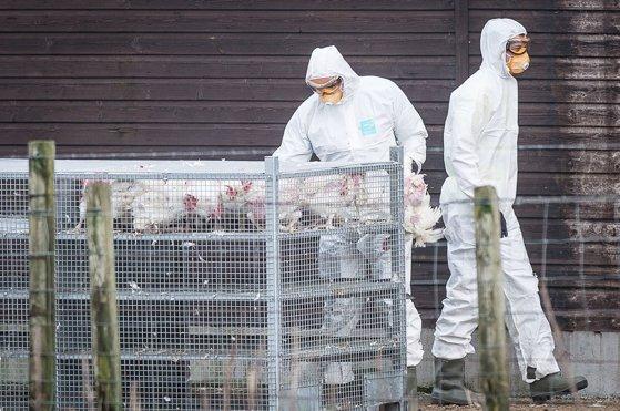 Imaginea articolului Gripă aviară detectată la o fermă din Maramureş. Boala evoluează în mai multe ţări europene