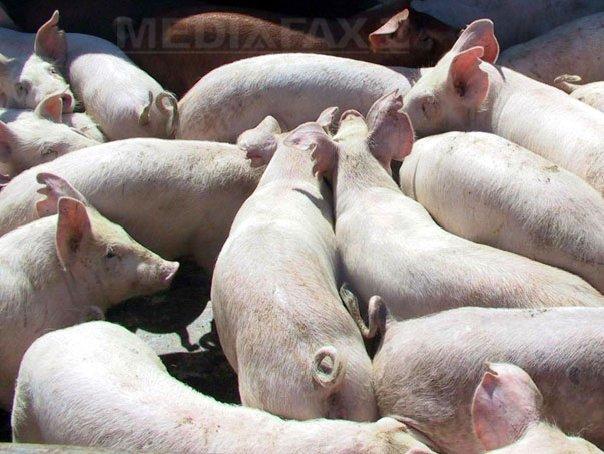 Noi focare de pestă porcină africană în România