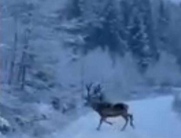 Un cerb care traversează un drum montan, filmat de angajaţii unui ocol silvic|EpicNews