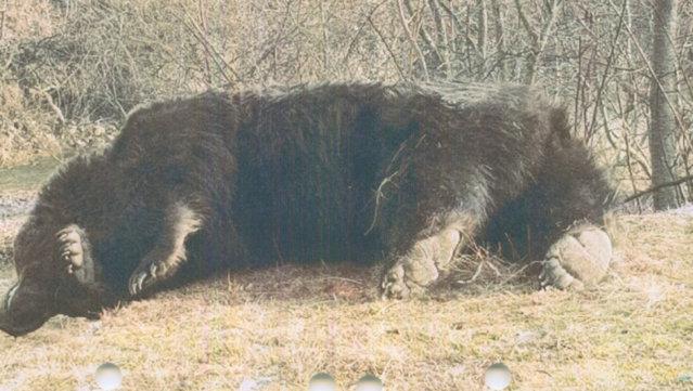 Octavian Berceanu: Nu contează dimensiunea ursului, nici cine l-a împuşcat, ci cum s-a făcut recoltarea|EpicNews