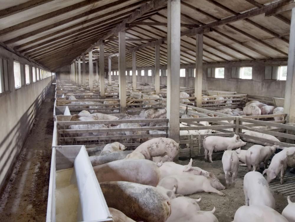 Pesta porcină în România. Peste 300 de focare înregistrate în toată ţara