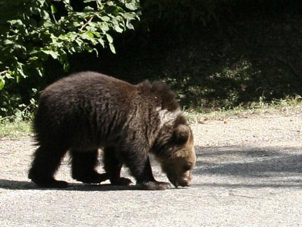 Invazie de urşi într-o comunitate din Vrancea. Localnicii cer ajutorul autorităţilor