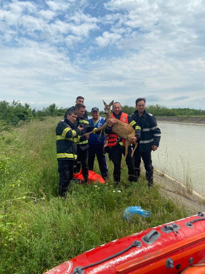 Imagini inedite. Căprioară căzută într-un canal de irigaţii, salvată de pompieri VIDEO