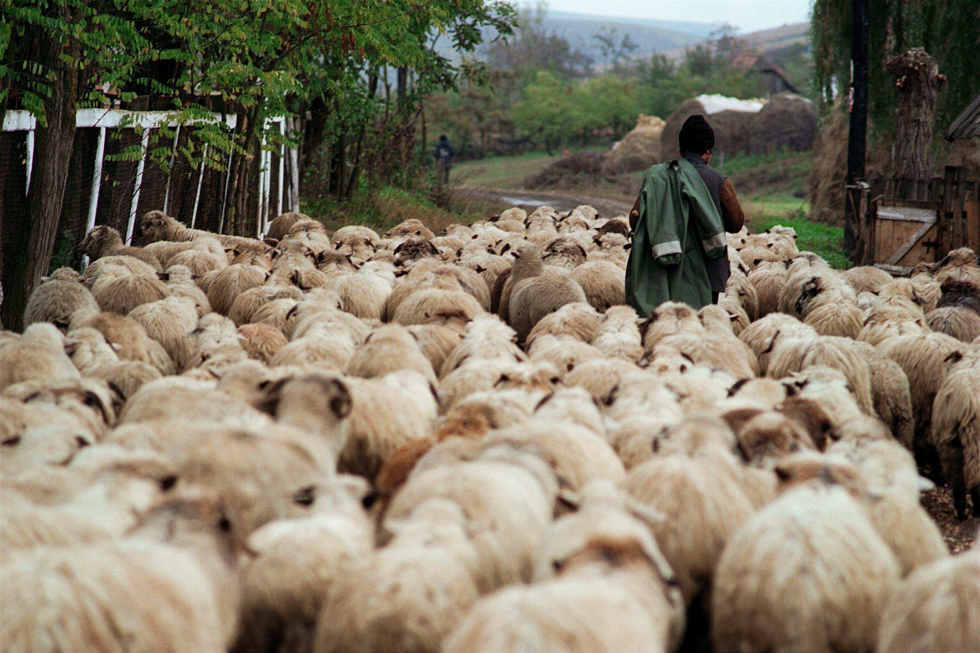 Suceava: Un urs a omorât două oi