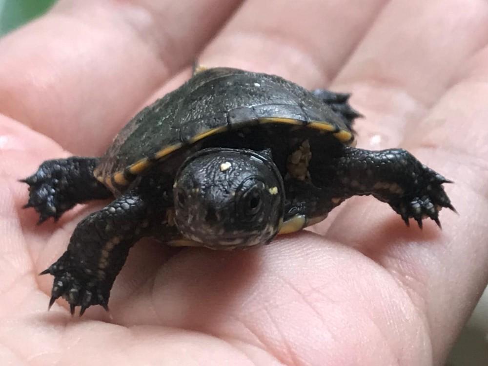 Există viaţă după moarte. O ţestoasă europeană a fost călcată de maşină, dar ouăle ei au fost salvate(...)