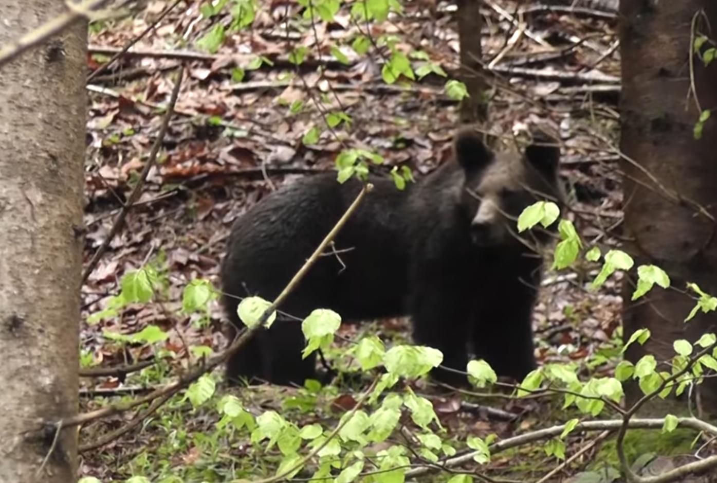 VIDEO Un angajat Romsilva a filmat momentul întâlnirii cu un urs într-o pădure din Rezervaţia(...)